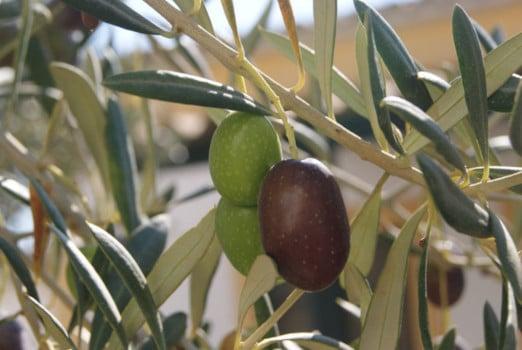 La aceituna en el Día Mundial de la Aceituna